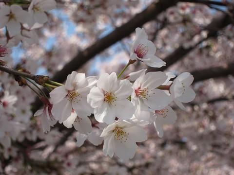 01_桜.jpg