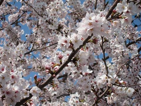 02_桜.jpg